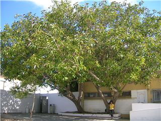 Ficus del Serafina Andrades